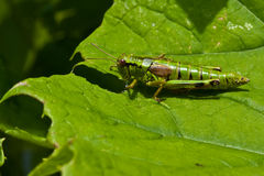 Green grasshopper sitting on a leaf. In the sun Stock Photos