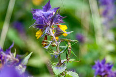 Green grasshopper sitting on a purple flower Stock Photography