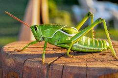 Green grasshopper. Sitting on a wood Stock Images