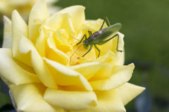 Green grasshopper sitting on on the yellow rose Royalty Free Stock Photos