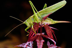 Green grasshopper sleeping at night on red maple tree.  Stock Image