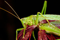 Green grasshopper sleeping at night on red maple tree.  Royalty Free Stock Images