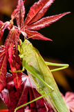 Green grasshopper sleeping at night on red maple tree.  Royalty Free Stock Photography