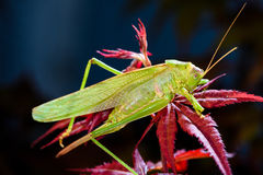 Green grasshopper sleeping at night on red maple tree.  Stock Images