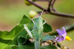 Green grasshopper Royalty Free Stock Photography