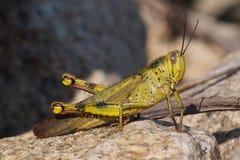 Green grasshopper. A green grasshopper soaking up the morning sunlight Stock Image