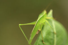 Green grasshopper. In springtime in Colorado Stock Image