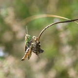 Grasshopper in a meadow (Chorthippus paralellus) Royalty Free Stock Photography