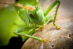 Green grasshopper on a stone Stock Photos