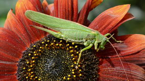 Green grasshopper on sunflower blossom Royalty Free Stock Photography