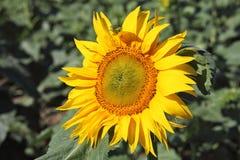 Green grasshopper on sunflower Stock Photography
