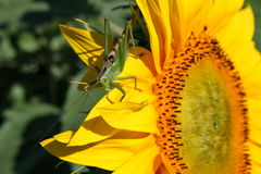 Green grasshopper on sunflower Stock Photos
