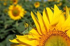 Green grasshopper on sunflower Royalty Free Stock Image
