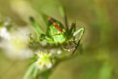 Green grasshopper - super macro Royalty Free Stock Photography
