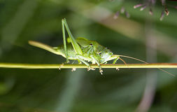 Green grasshopper Tettigonia viridissima Royalty Free Stock Images