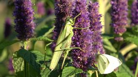 Green grasshopper Tettigonia viridissima and cabbage butterfly on blossoming anise hyssop stock video