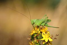 Green grasshopper Tettigonia viridissima Stock Image