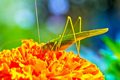 The green grasshopper (Tettigonia viridissima) Stock Image