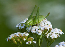 Green grasshopper (Tettigonia viridissima) on a flower Yarrow (Achillea) Royalty Free Stock Images