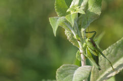 Green grasshopper (Tettigonia viridissima) sits on a leaf Royalty Free Stock Photos