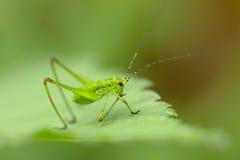 Green grasshopper Stock Image