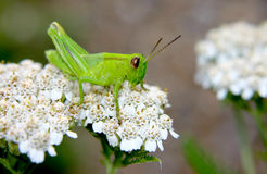 Green Grasshopper about to leap. Little green grasshopper was eatting,seen me and was about to jump Royalty Free Stock Image