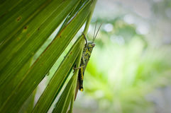 Green grasshopper on the tree Royalty Free Stock Photography