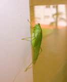 A green grasshopper in the tropics Royalty Free Stock Photography