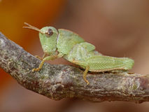 Green Grasshopper  On Twig Stock Photos