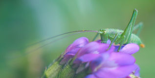 Green grasshopper on the violet flower Stock Images