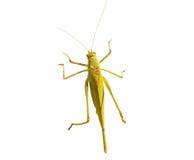 The green grasshopper Royalty Free Stock Photo