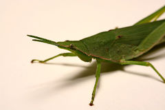 Green grasshopper on a white background.  Stock Photography