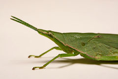 Green grasshopper on a white background.  Stock Image