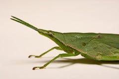 Green grasshopper on a white background Stock Image