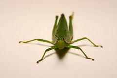 Green grasshopper on a white background.  Royalty Free Stock Photos