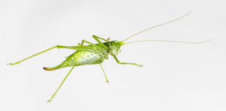 A Green Grasshopper on white Royalty Free Stock Image