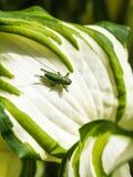 Green grasshopper on white leaf of Hosta plant Stock Image