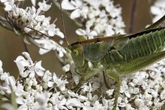 Green grasshopper on a wild flower in France Stock Photography