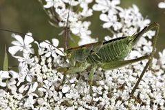 Green grasshopper on a wild flower in France Stock Image