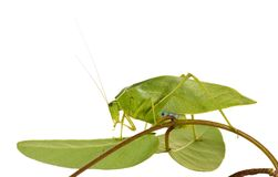 Green grasshopper with wings like leaves Stock Photography