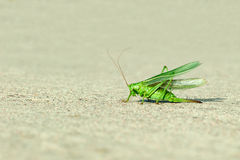 Green grasshopper wings raised Royalty Free Stock Image