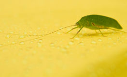 The green grasshopper on yellow background Royalty Free Stock Photos