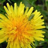Green grasshopper on yellow flower. Closeup background stock photos