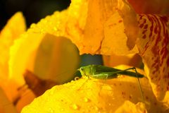 Green grasshopper and yellow flower. Small grasshopper sit on yellow lily in sunny garden. Royalty Free Stock Photography