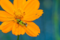 green grasshopper on the yellow flower Stock Image