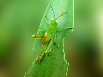 Green Grasshoppers Stock Photo