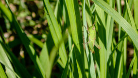 Green Grasshoppers are insects of the suborder Caelifera within the order Orthoptera, which includes crickets and katydids. Stock Image
