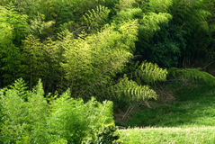 Green grassland with bamboo Royalty Free Stock Photos