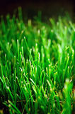 Green grassplot. The green grasses under the sunshine Stock Image