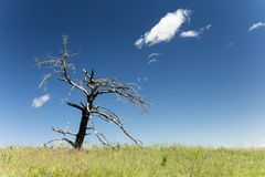 Dead tree snag grass ridge blue sky Royalty Free Stock Images